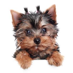piccolo_cane
