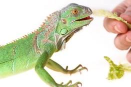 nac-iguana