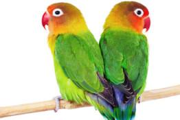 nac-pappagallo