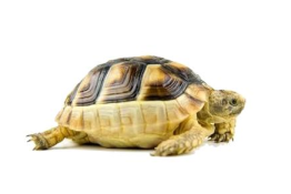 nac-tartaruga