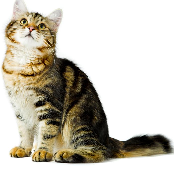 Riconoscere le urgenze veterinarie nel gatto